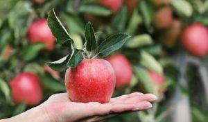 Jabłko dostać