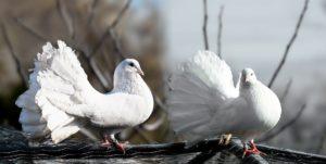 Para gołębi