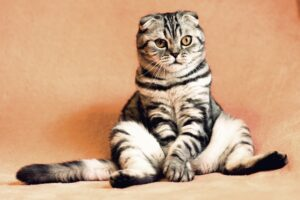 Miałczący kot