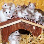 Białe myszy